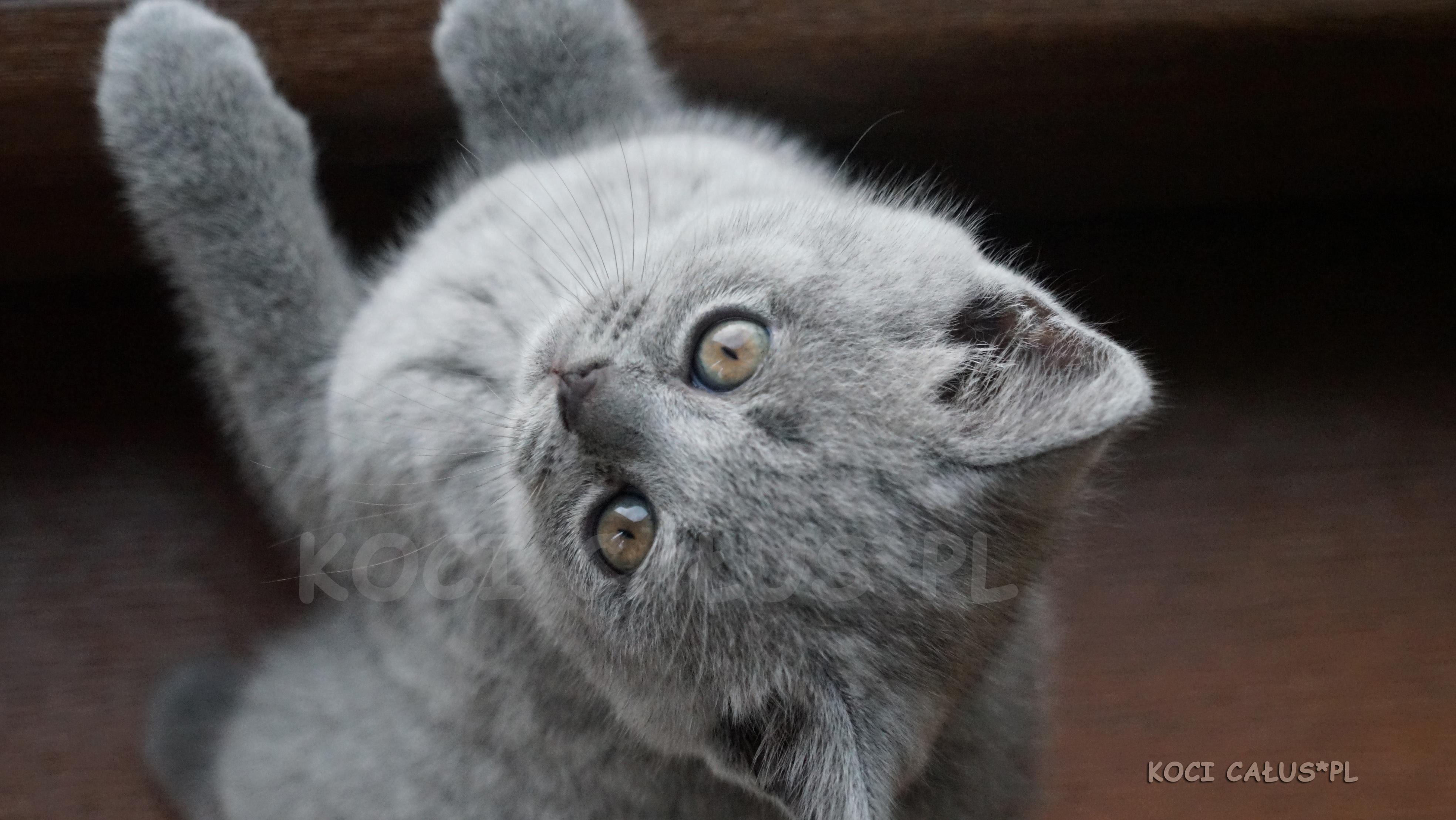 GINA BLUE Koci Całus*PL